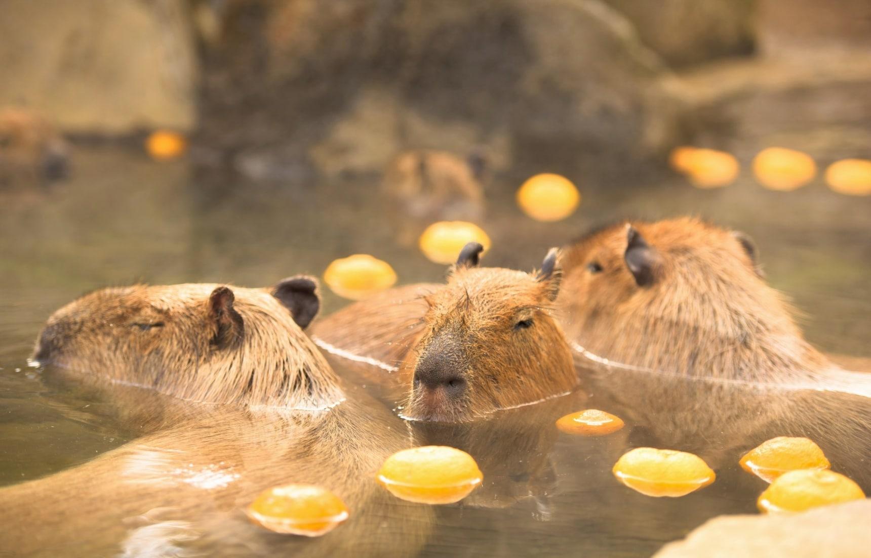 【冬季限定】學水豚泡果物湯!日本兩大溫泉水果浴旅館