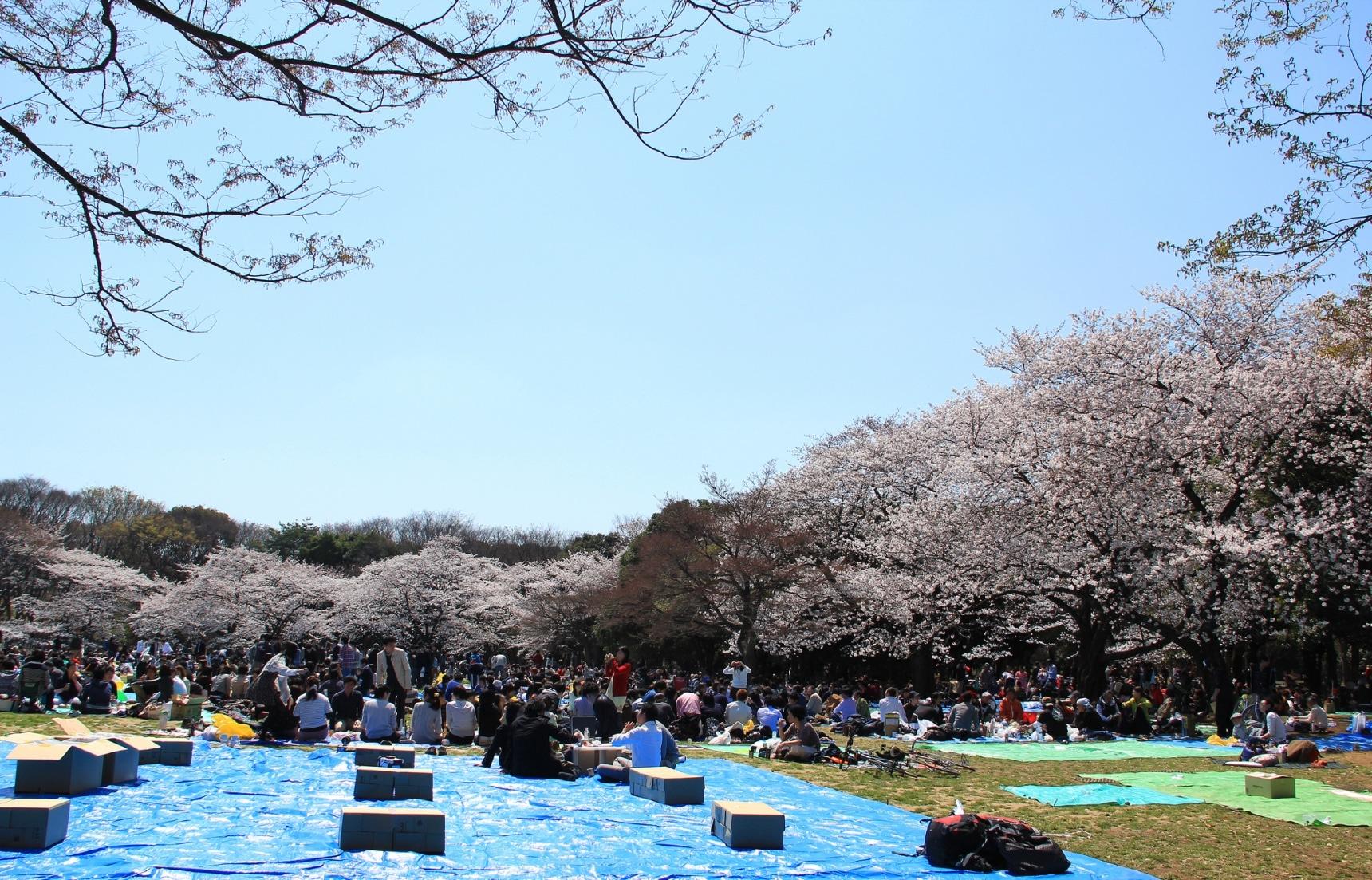 """""""ฮานามิ""""การชมดอกไม้ของญี่ปุ่น"""