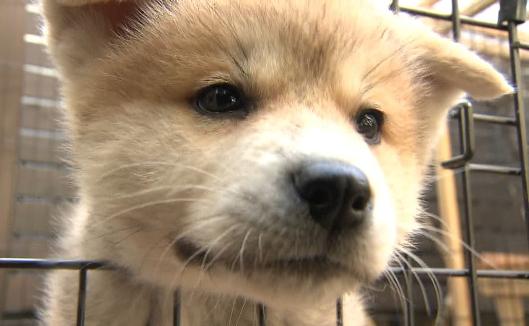 Zoo Hopes to Help Japan's Traditional Dogs