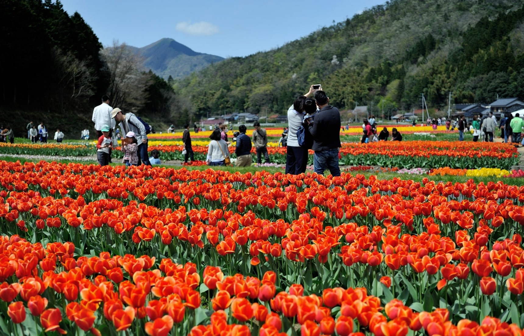 Enjoy Flower Fun at the Tanto Tulip Festival