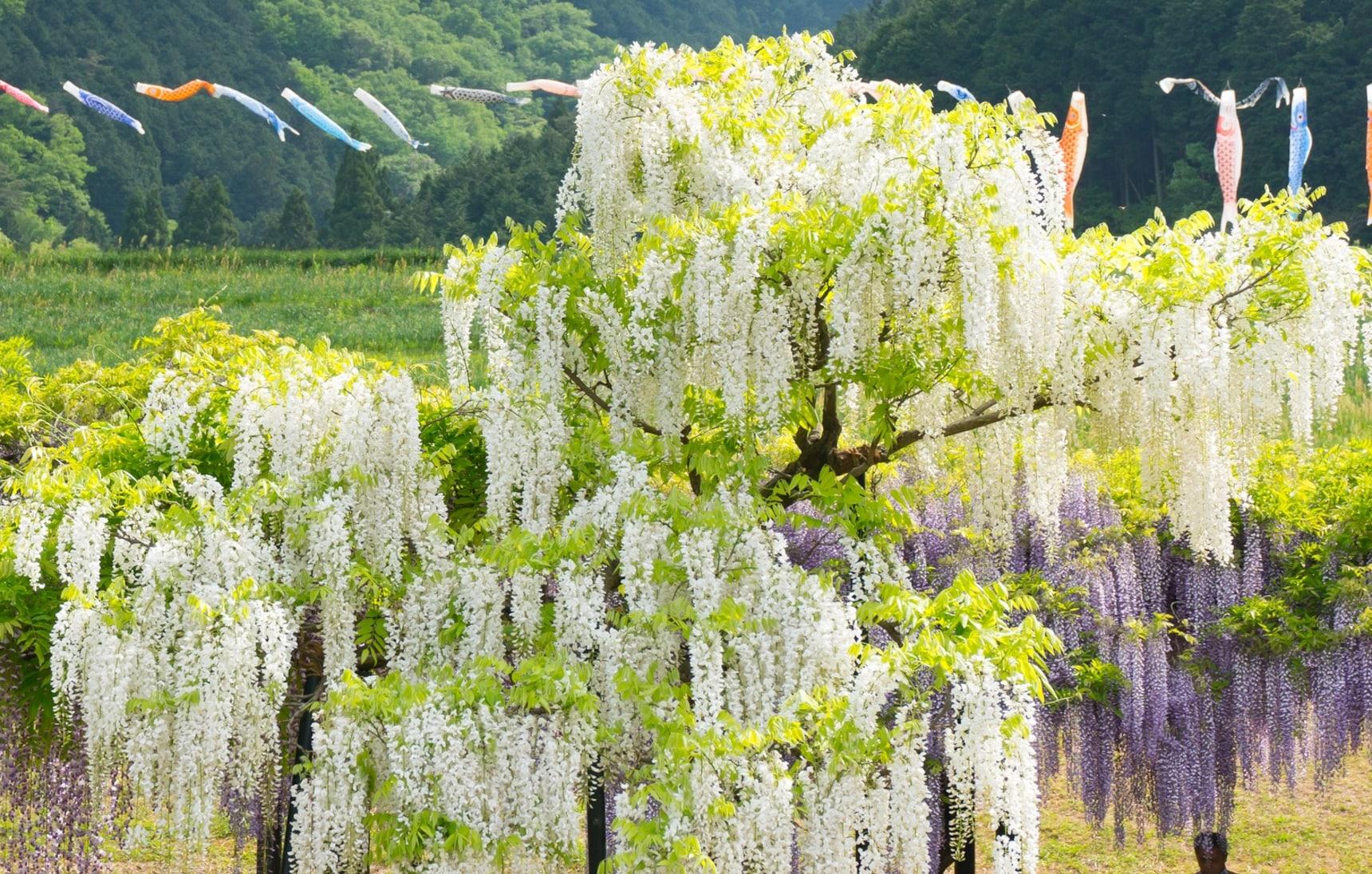 ดอกไม้ญี่ปุ่นน่าชมนอกเหนือจากซากุระ 5 ชนิด