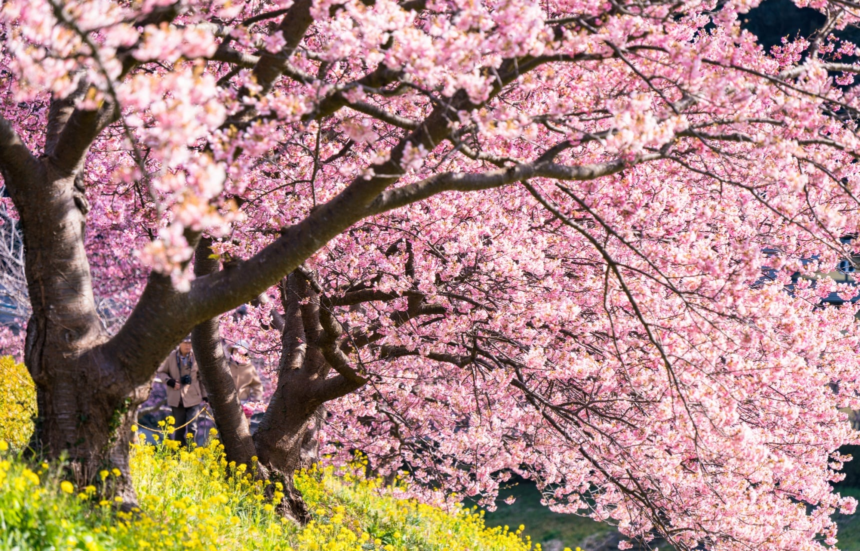 Capturing the Perfect Pink of Sakura