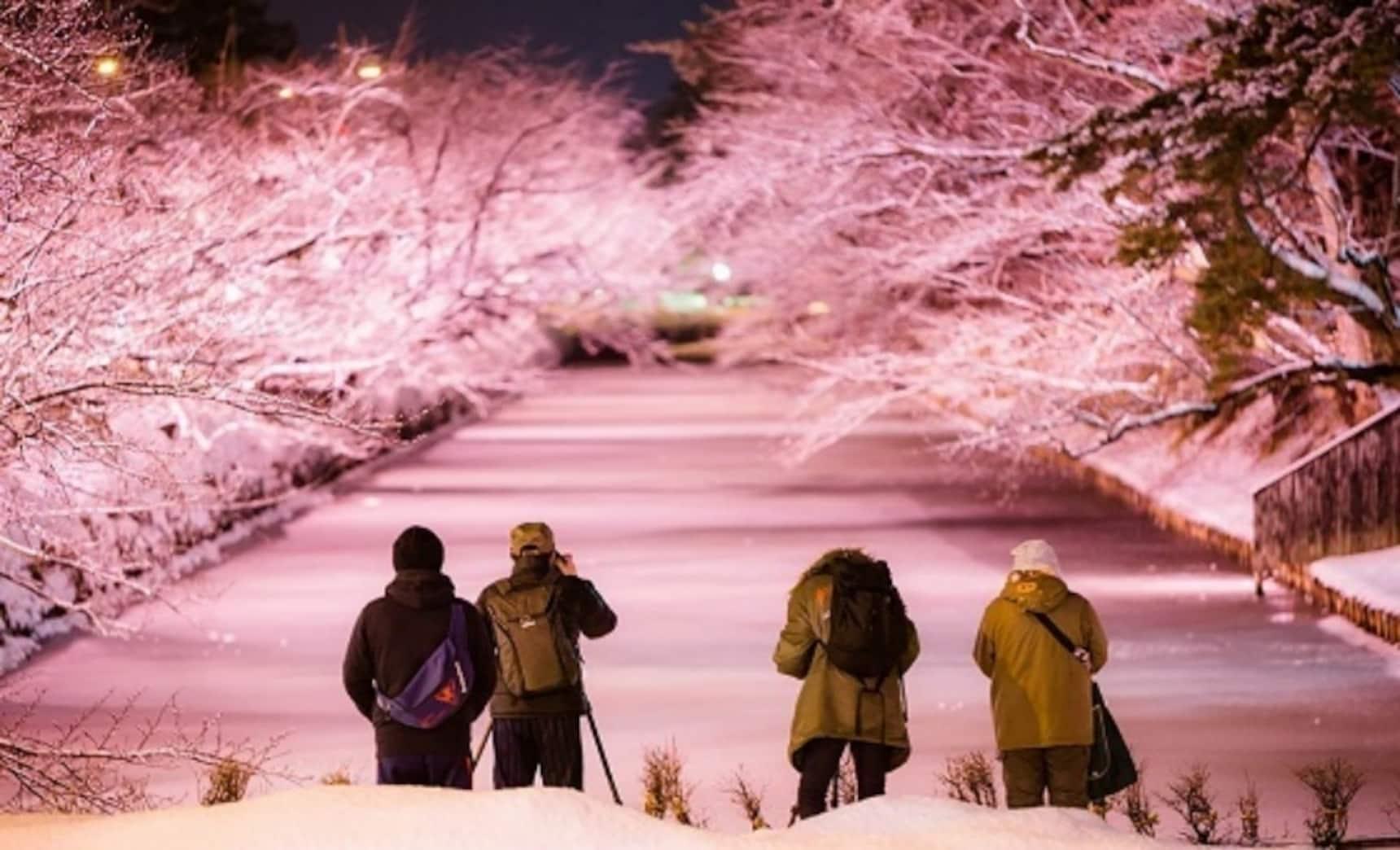 "Aomori's Stunning Winter ""Cherry Blossoms"""