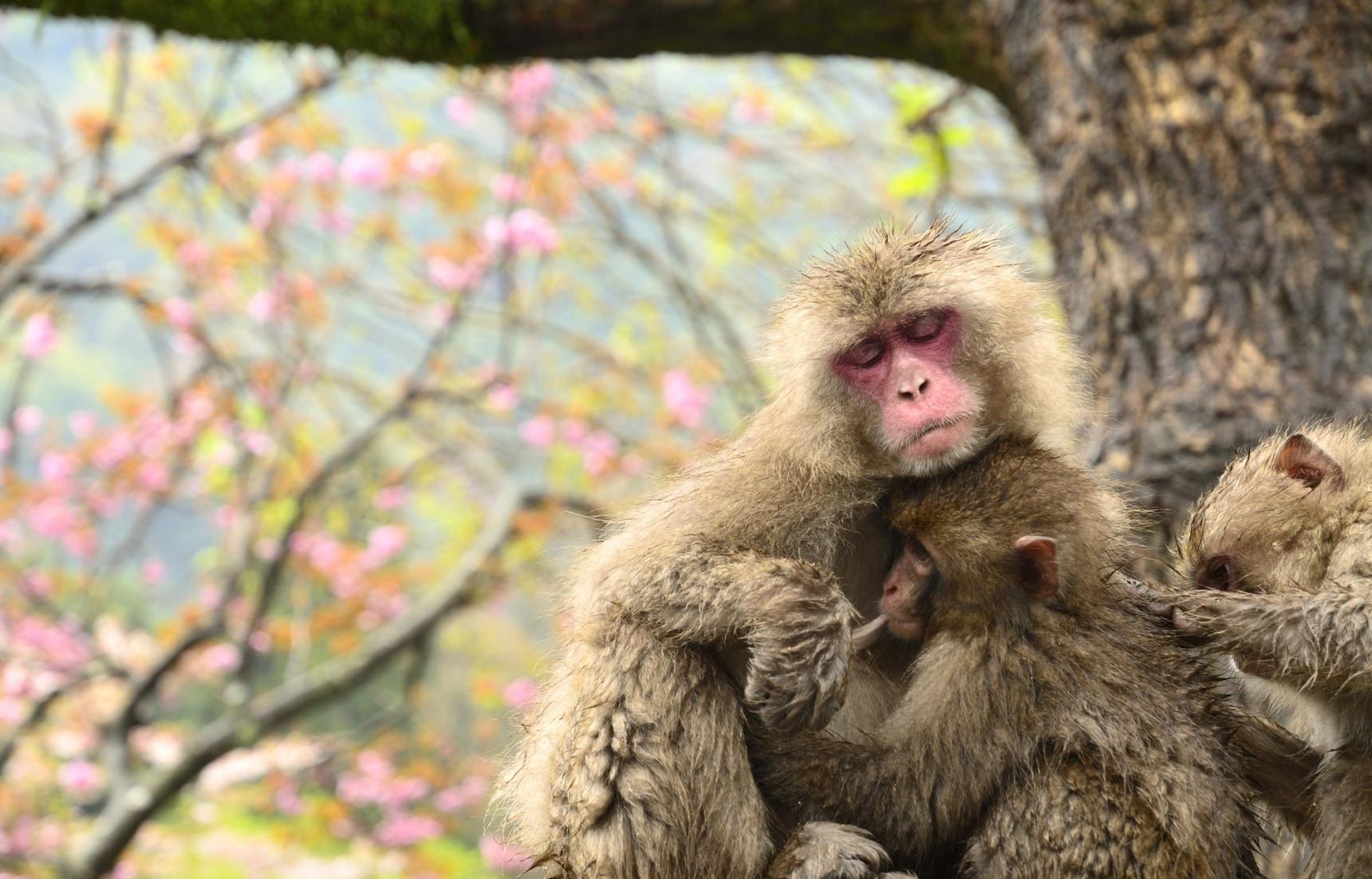 Monkeying around at Takasakiyama Monkey Park