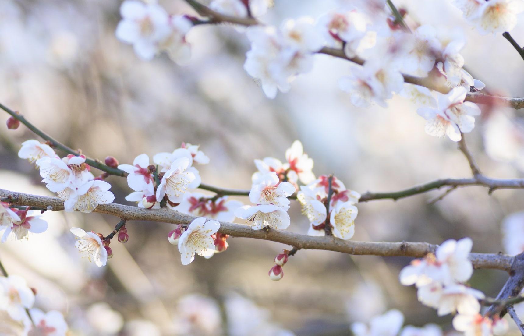 A Crash Course on Tokyo's Plum Blossoms