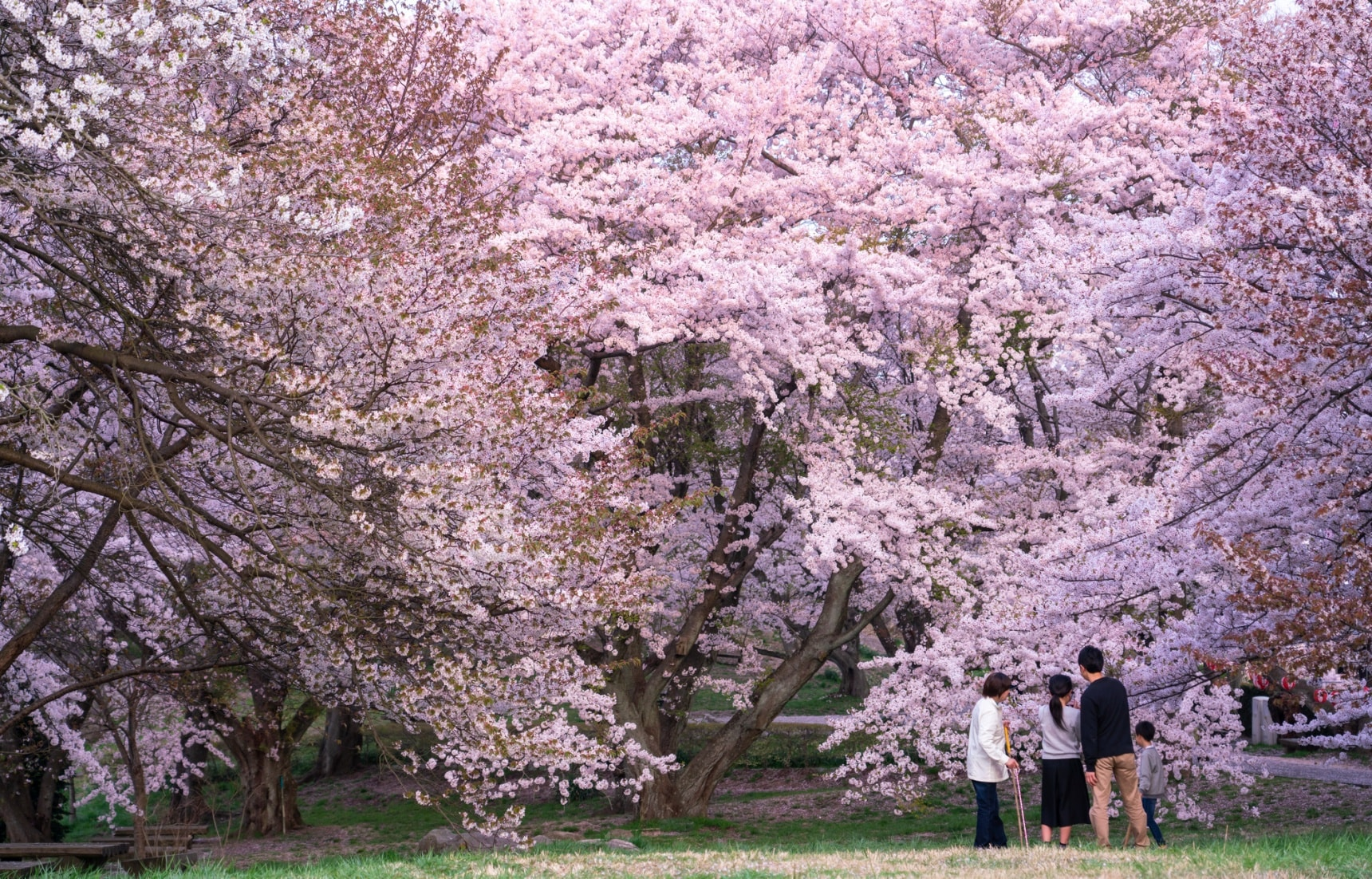 Incredible Cherry Blossoms in Kagawa