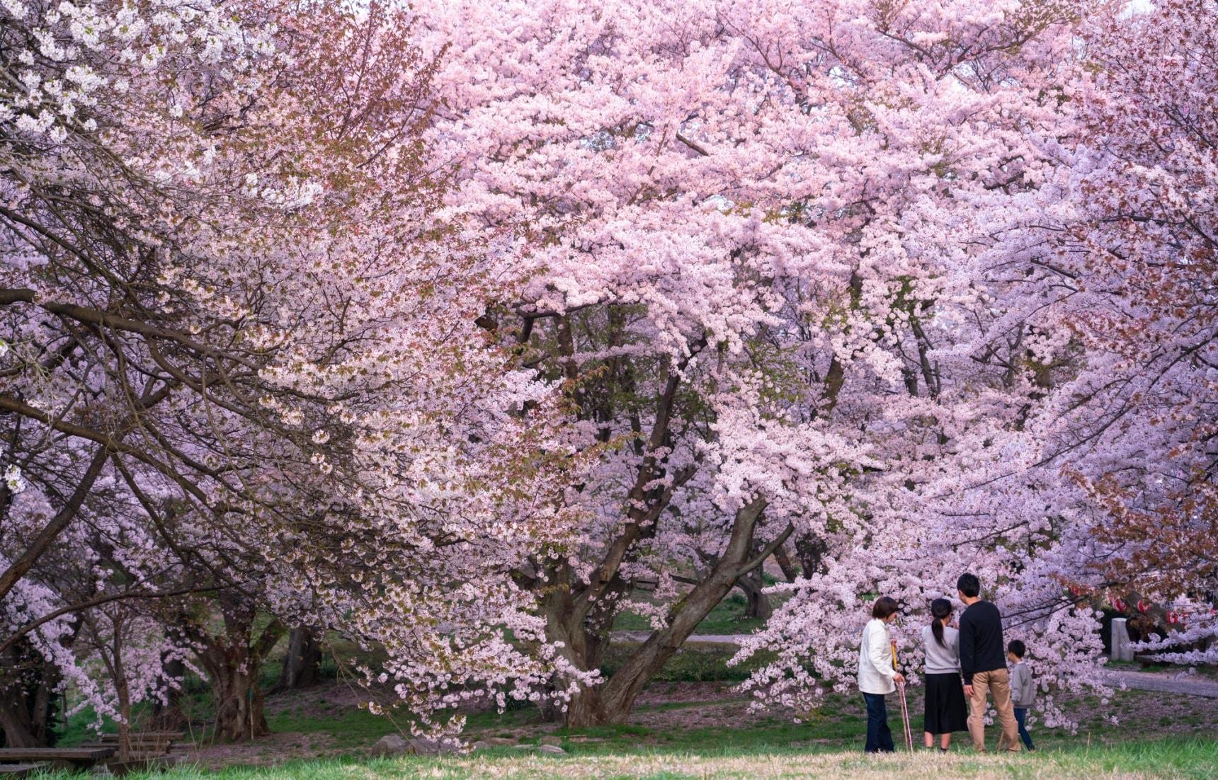 Incredible Cherry Blossoms in Kagawa