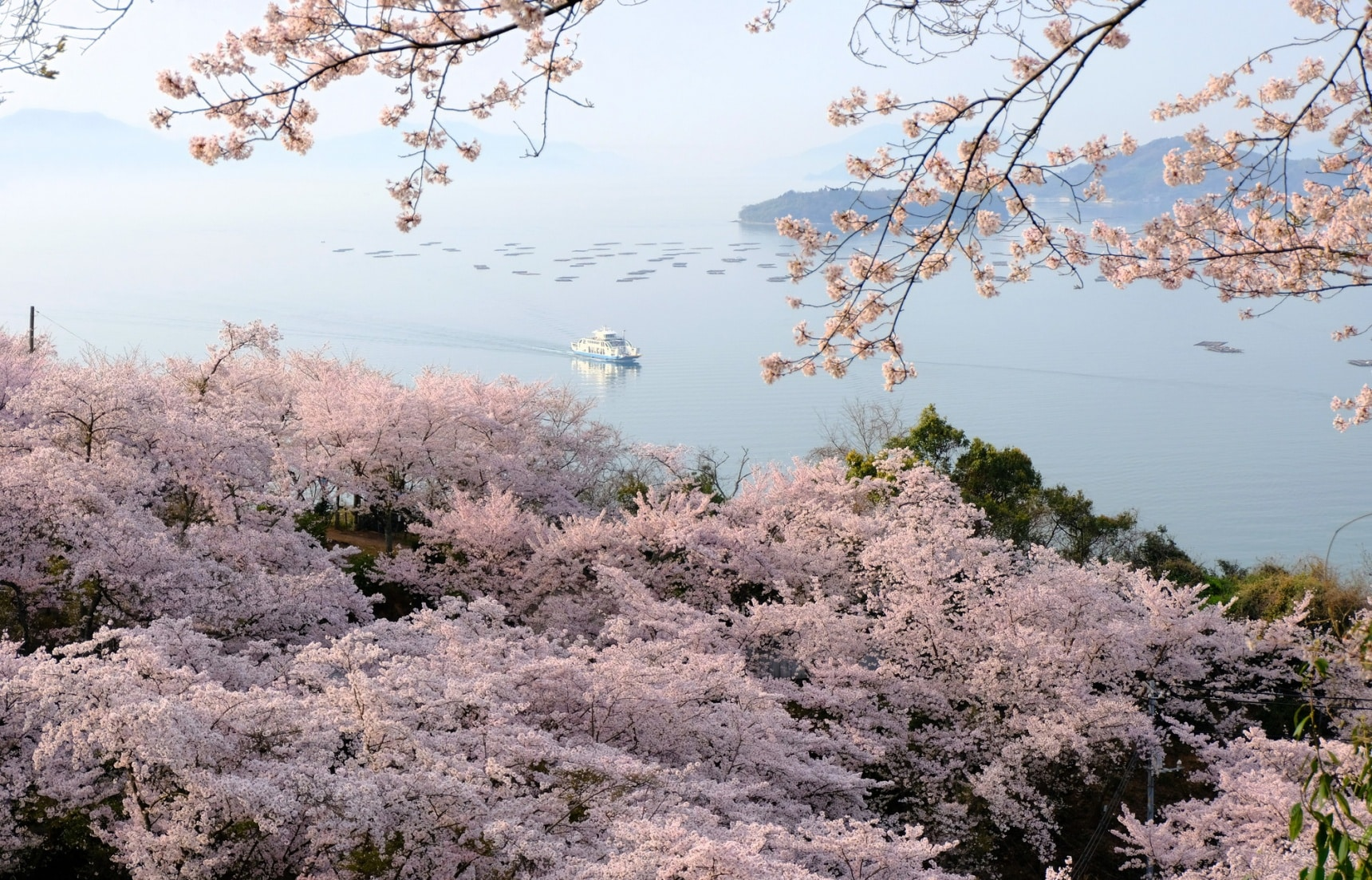 The Cherry Blossom Beauty of Shodoshima