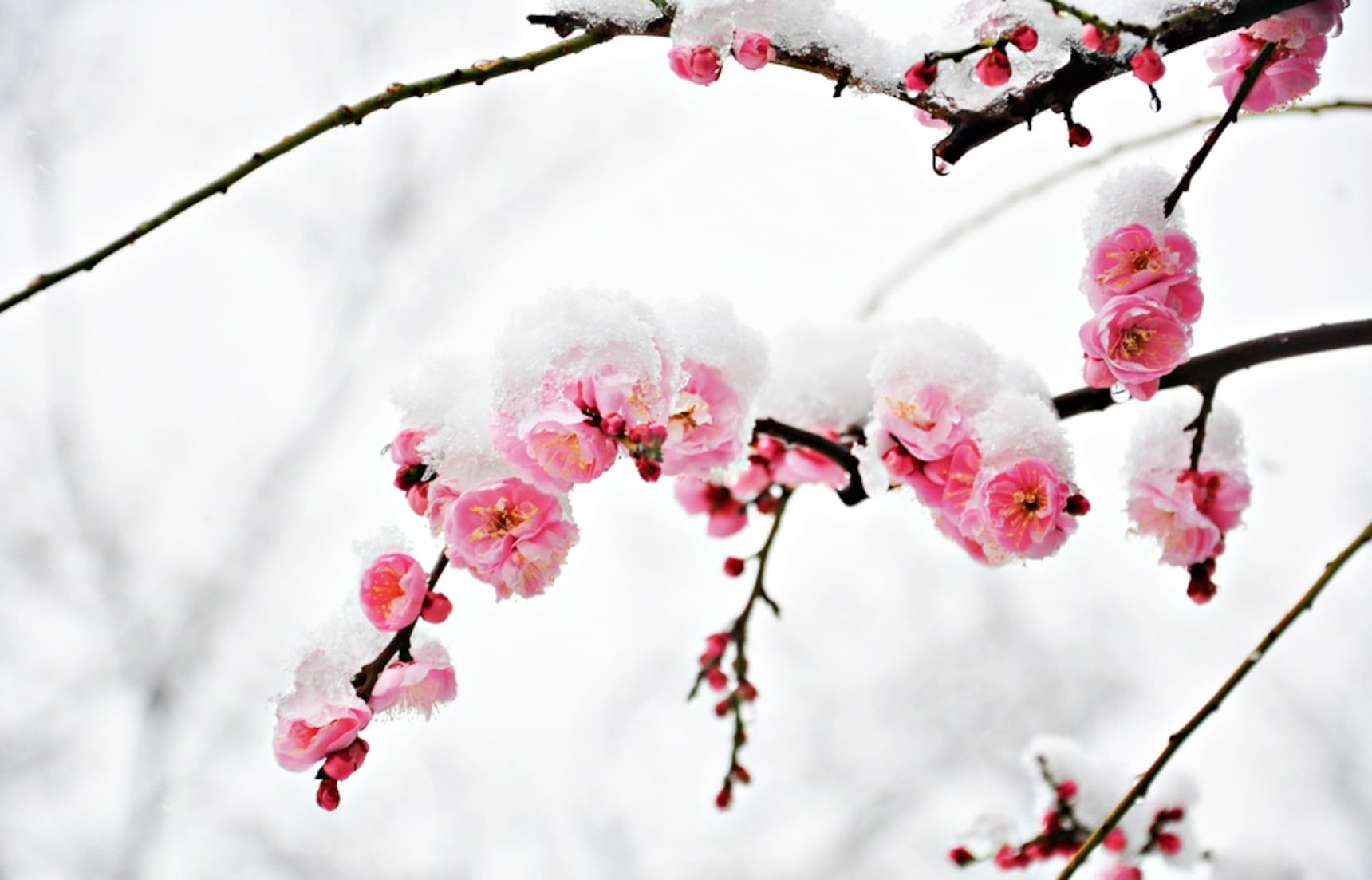 Snow & Sakura Make for Incredible Hanami