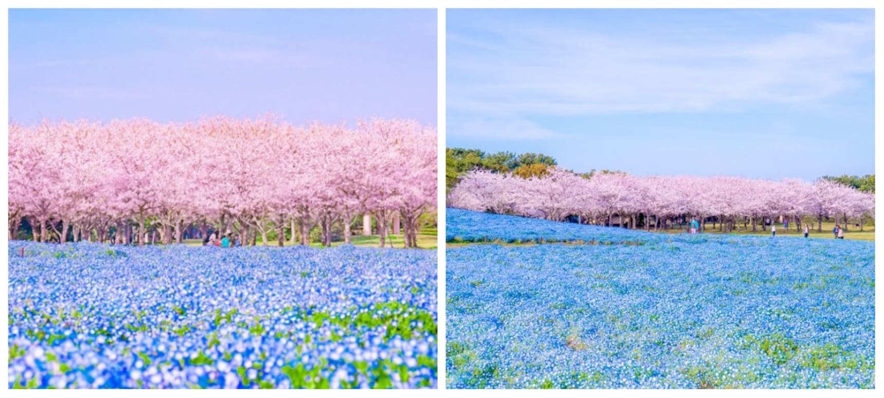 Flowers & Sakura at Seaside Park in Fukuoka
