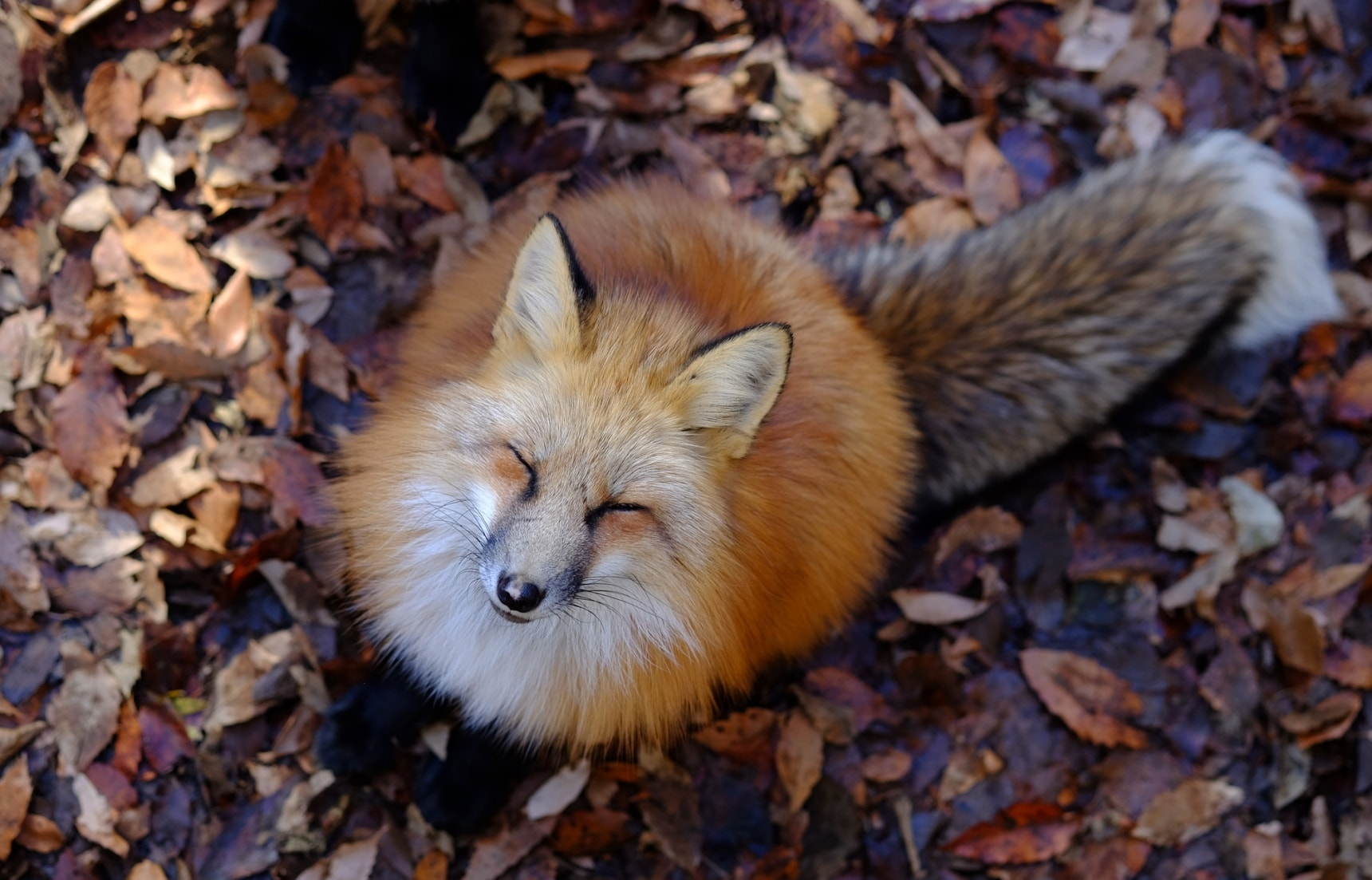 Run with the Foxes at Zao Fox Village