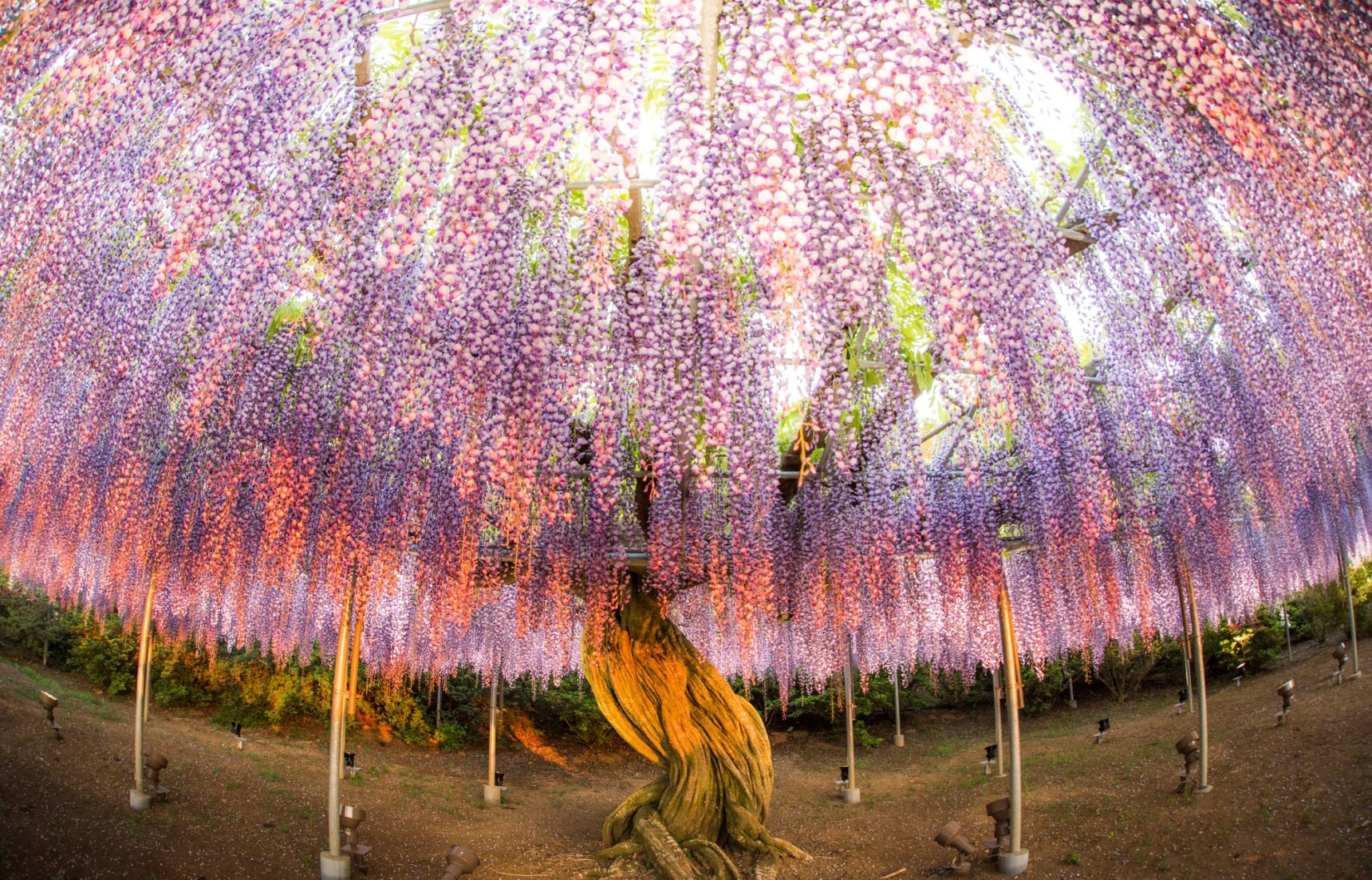 Whisk Yourself Away to a Land of Wisteria