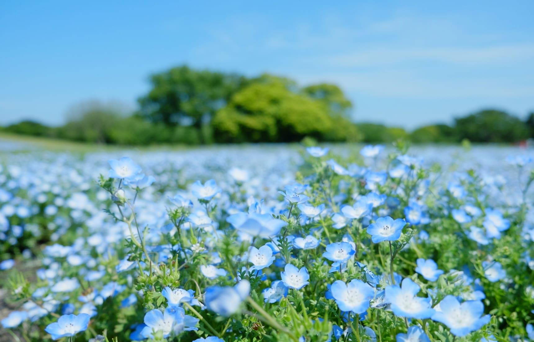 ชมดอกไม้ปั่นจักยานที่ Umino-Nakamichi ฟุกุโอกะ