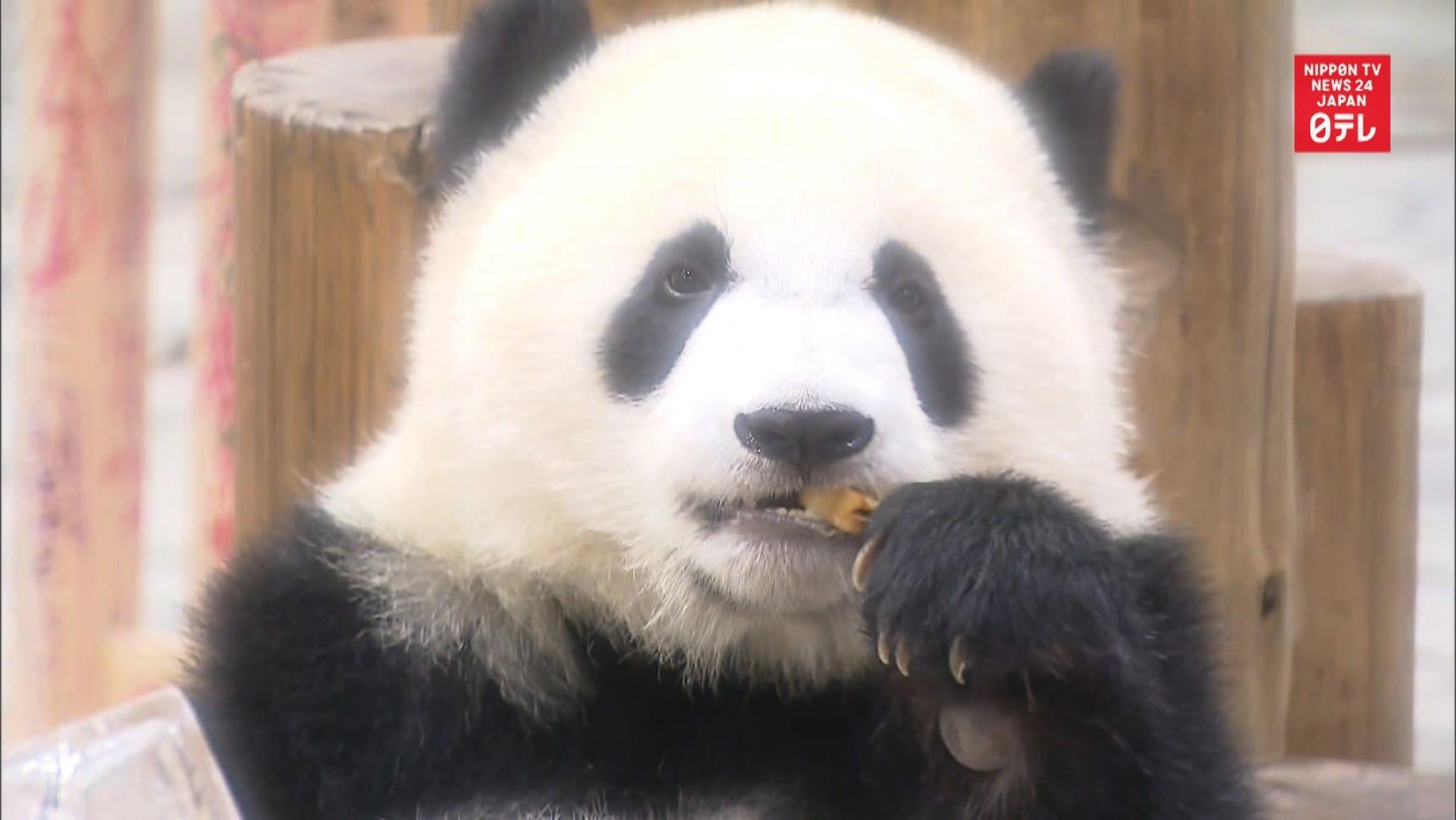 Giant Panda Saihin Celebrates First Birthday