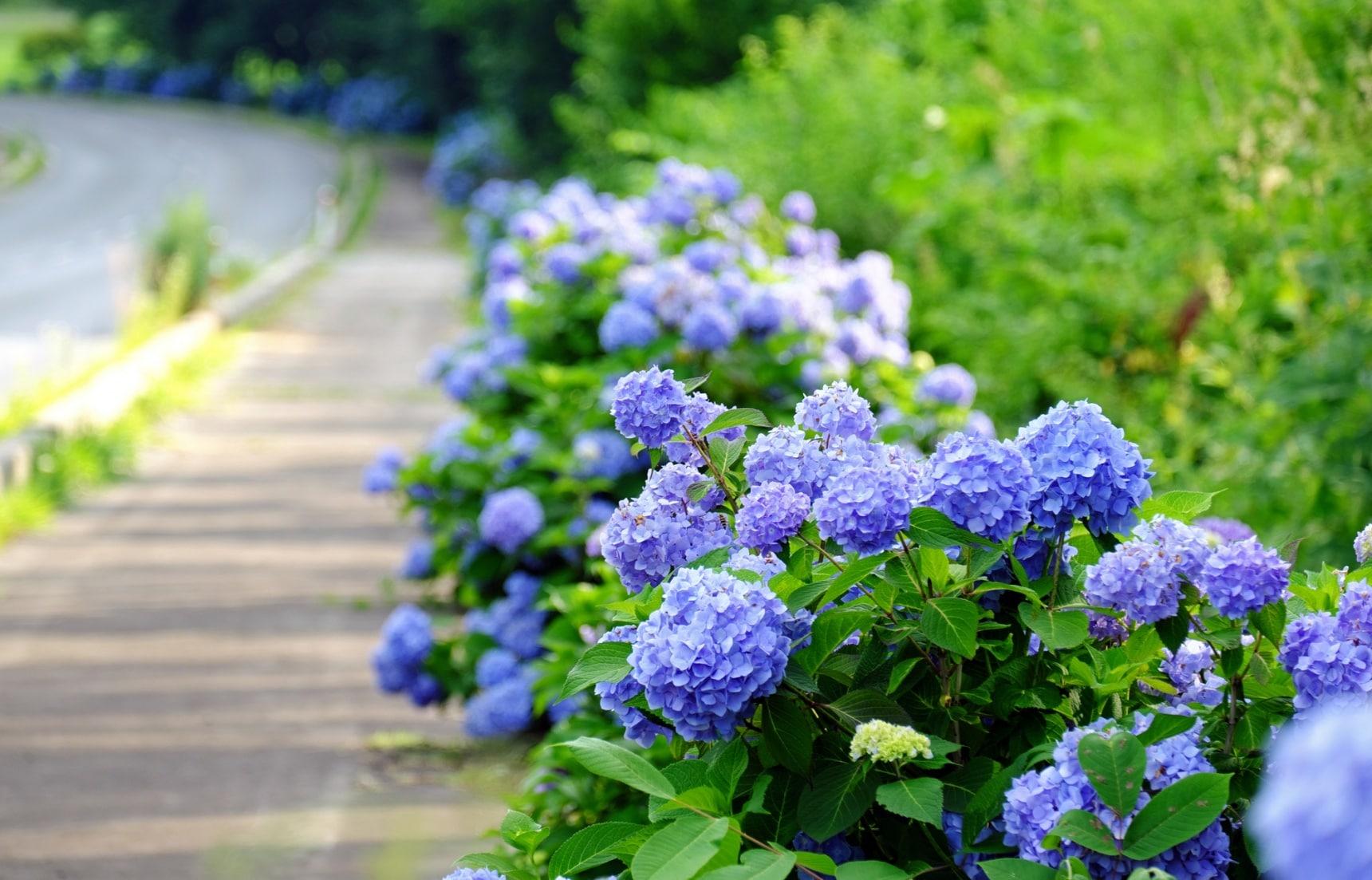 【日本歲時記】賞花兼長知識!六月梅雨季綻放的繡球花更顯嬌鮮欲滴