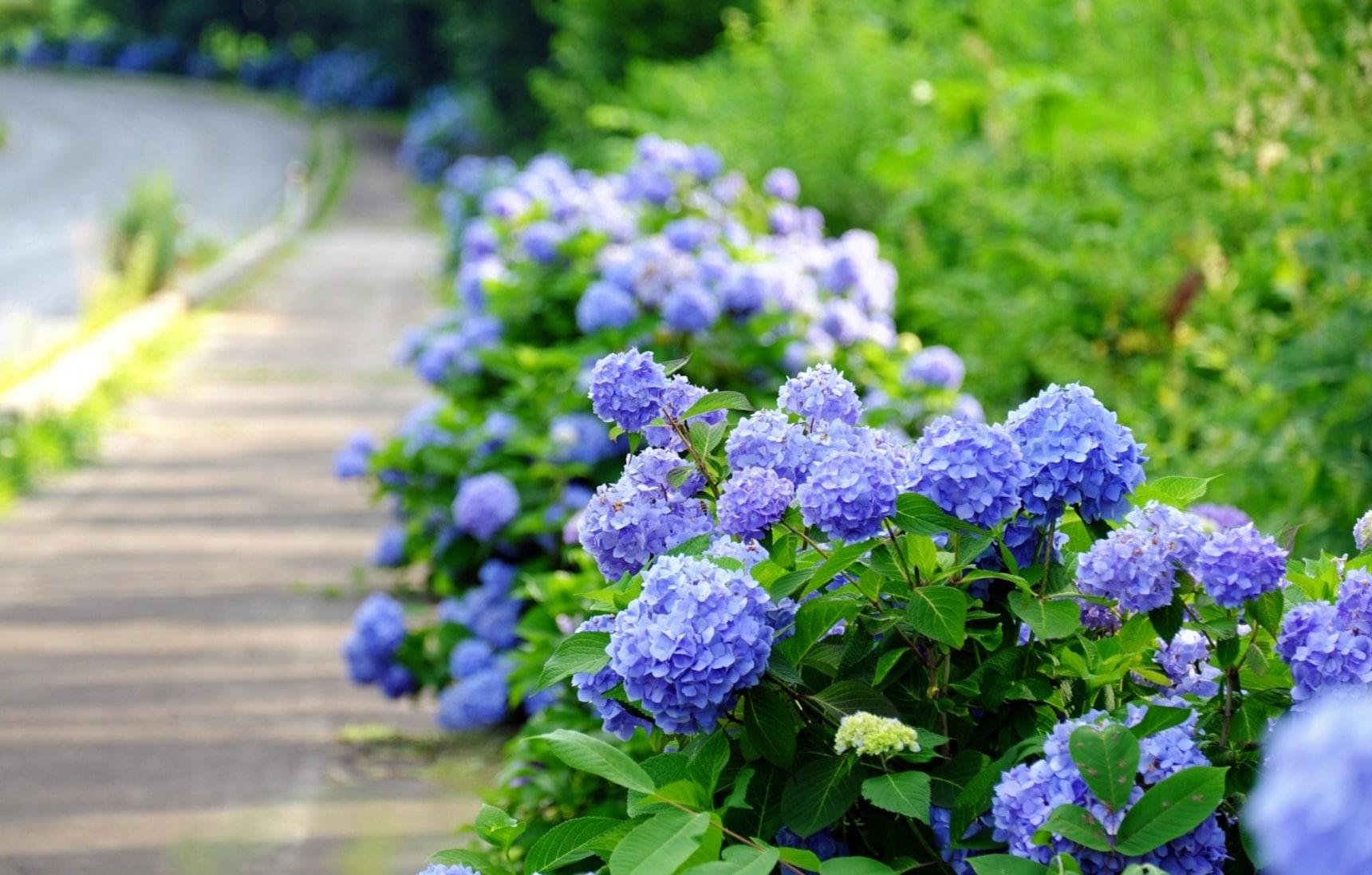 【日本梅雨季】长知识!绣球花真的是花吗?它其实有神奇的魔法!