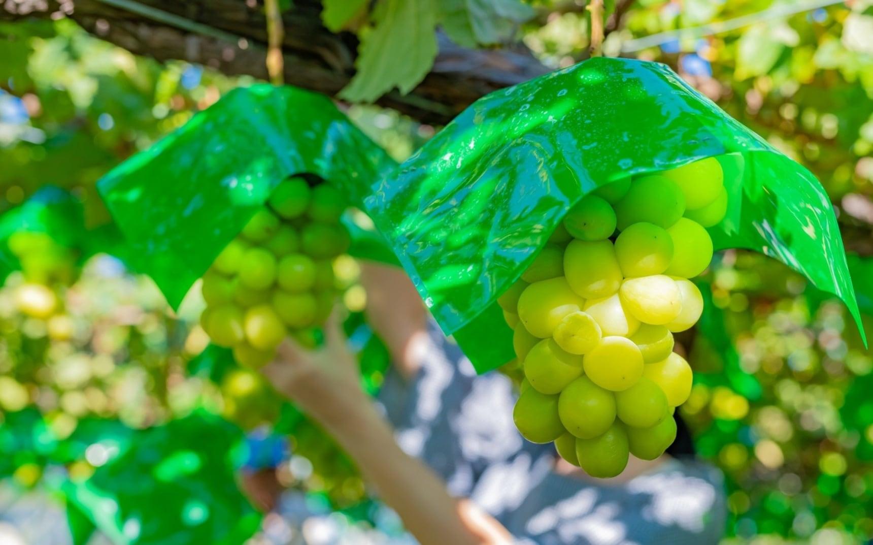 日本山梨:夏季水果超美味!葡萄・樱桃・水蜜桃边摘边吃根本停不下来(采摘园大全)
