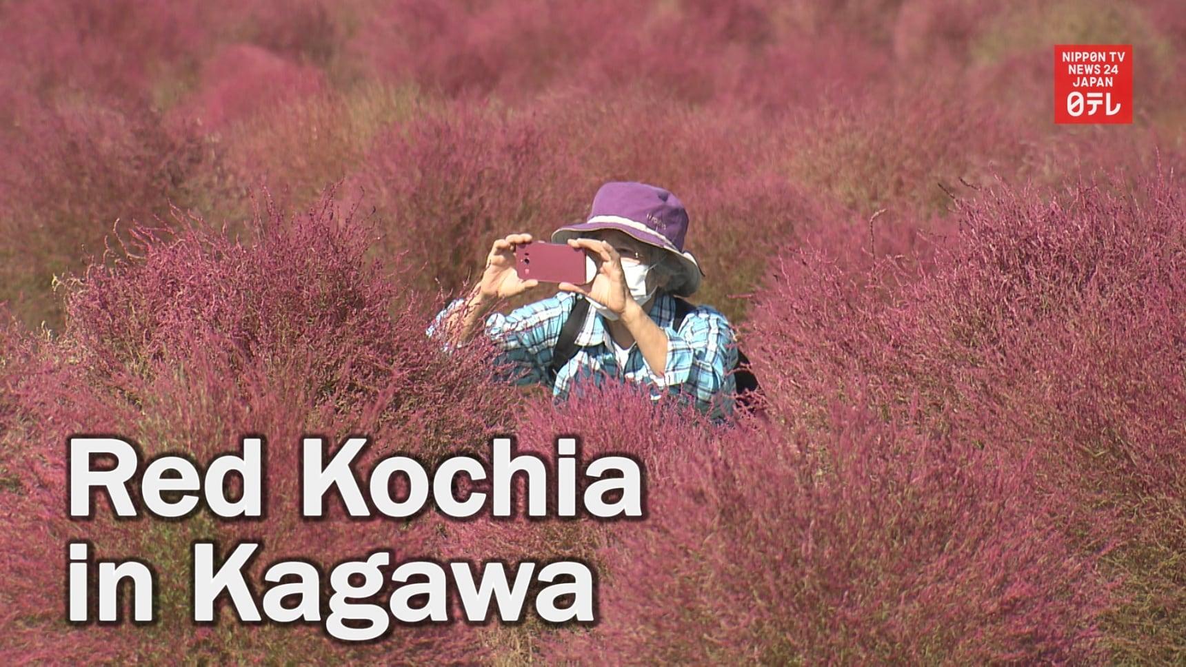 Red Kochia Are Attracting Visitors to Kagawa