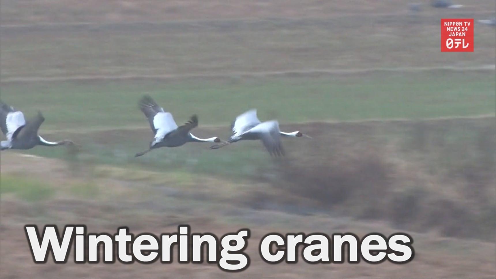 13.000 Wintering Cranes Headed to Kagoshima