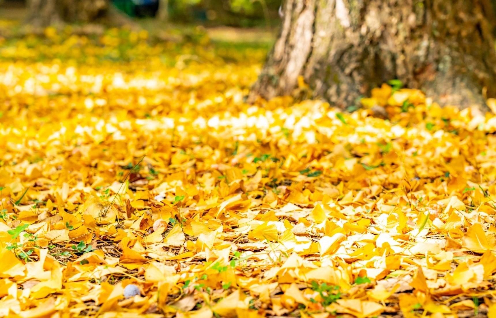 秋盘堆鸭脚:东京的秋天到哪里赏银杏?艺术与美食都不可辜负!