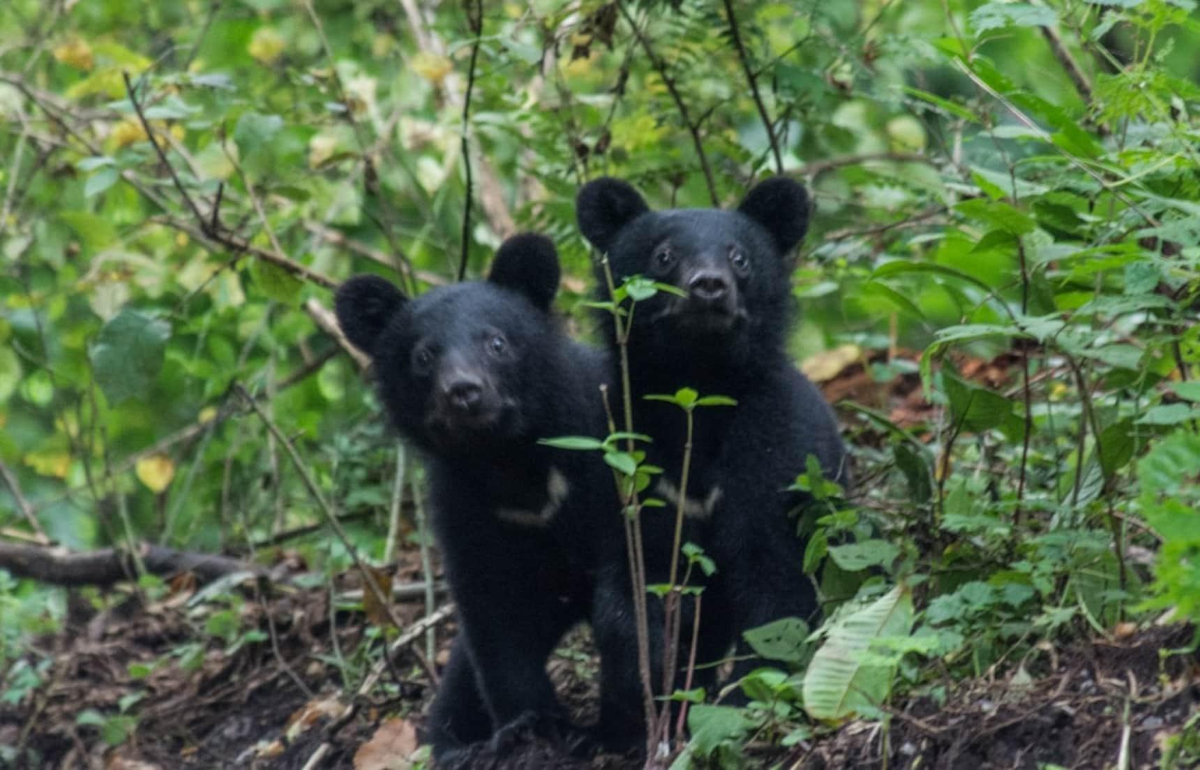 Bear Attacks in Japan: There Is A Solution