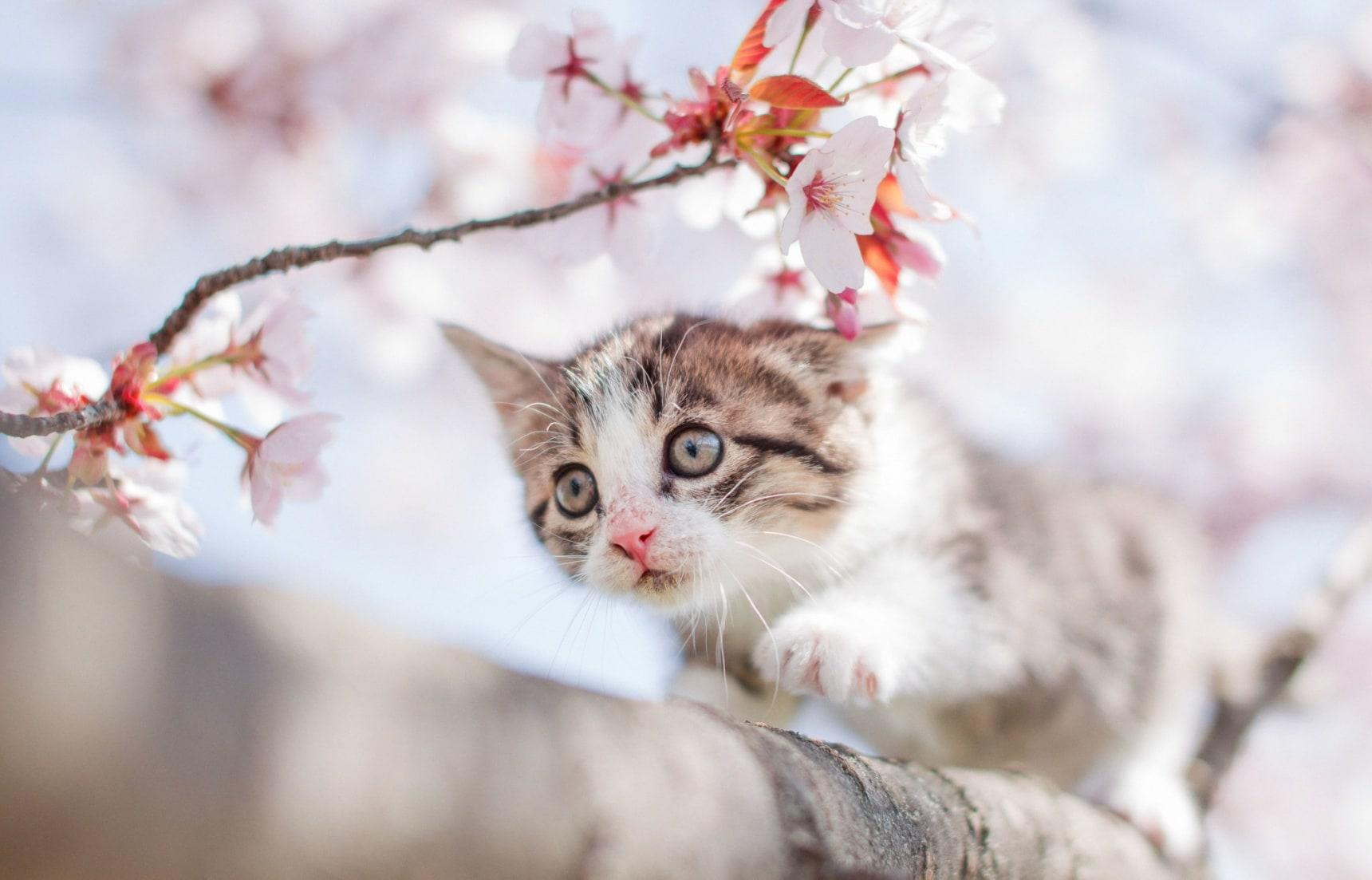 日本人与猫:又到一年猫之日,你还不知道这些岛国猫咪的小秘密?