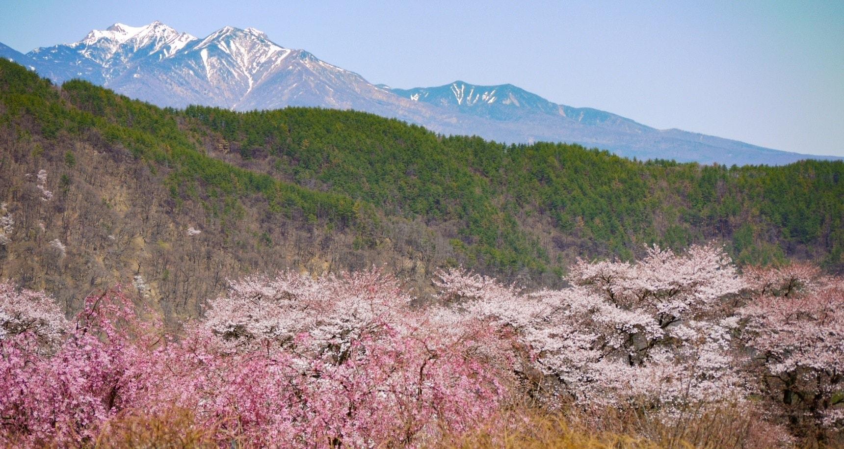 春游东瀛:巨樱!一本樱!樱花隧道!日本关东赏樱小众景点大揭秘