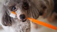 犬の歯磨きのコツとおすすめ人気アイテム5選【歯磨き粉など】獣医師さんに聞く!必要性やしつけの仕方