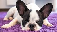 犬のカーペットおすすめ人気ランキング10選 洗濯できて安心 - Best One(ベストワン)