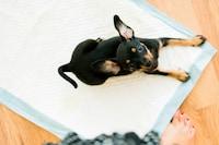 犬用トイレシートおすすめランキング11選|吸収力のある商品が人気!収納ケースやゴミ箱にも注目 - Best One(ベストワン)