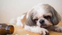 獣医師が選ぶ!愛犬の健康維持に役立つ犬用サプリメントおすすめ9選 - Best One(ベストワン)