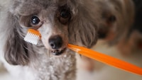 犬用歯磨きグッズのおすすめ人気ランキング12選|歯ブラシや歯磨き粉、ケア用ガム、おもちゃも紹介! - Best One(ベストワン)