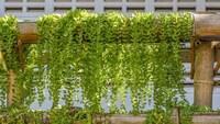 グリーンカーテンおすすめ人気ランキング8選|ゴーヤなどの収穫も楽しめる!