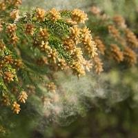 【2018年版】スギ・ヒノキ花粉飛散予想と対策