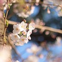 東京は4月2日に満開予測!桜の開花情報