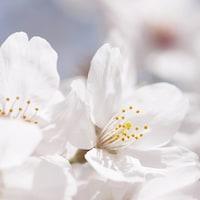 知っておけばもっと楽しくなる、お花見の歴史