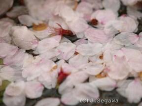 桜は咲いても散ってもシャッターチャンス