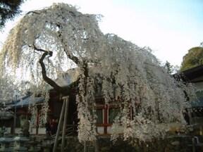 奈良でいちばん早く桜を見るなら【氷室神社】