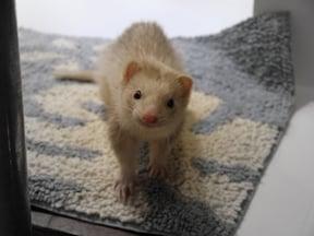 集合住宅で動物を飼いたい人に『フェレット』