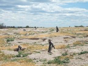 ペンギン天国の『プンタ・トンボ』でウォッチング