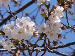 春は線路脇のソメイヨシノをチェック
