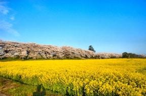 ロケ地としても有名!四季の花が楽しめる『権現堂堤』