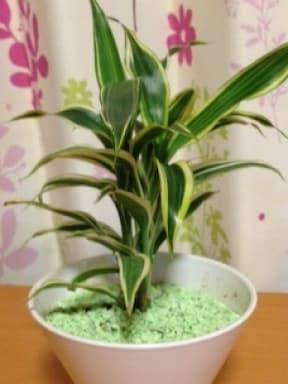 ダイソーの観葉植物をアレンジしてかわいく