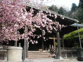 妙本寺 桜と海棠(カイドウ)の饗宴(3月末頃)