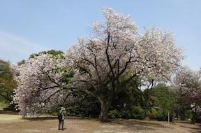 新宿御苑/例年は3月下旬~4月下旬