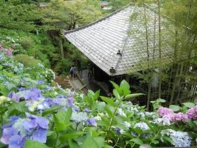 鎌倉には、アジサイの名所がいっぱい