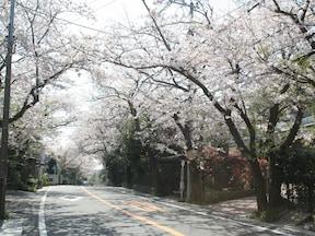 【鎌倉山】延々と続く桜並木