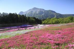 【秩父】芝桜の名所・羊山公園