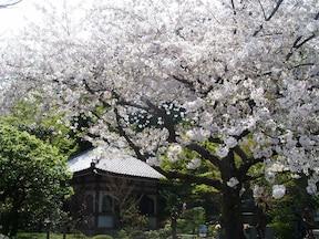 春のデートコースにしたい、鎌倉のお花見散策