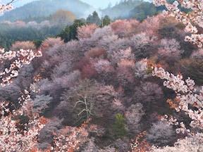 吉野山(下千本付近:350m)